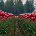 Tommy Tulips Two by mcrawfor