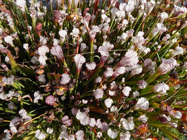 Sarracenia leucophylla, Owen O'Neil's collection