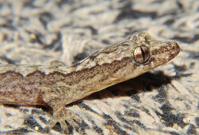 Alisons' mat gecko Airlie Beach P1410363