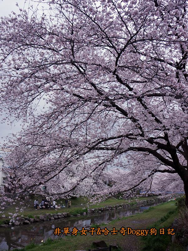 日本東京深大寺溫泉周邊賞櫻花21