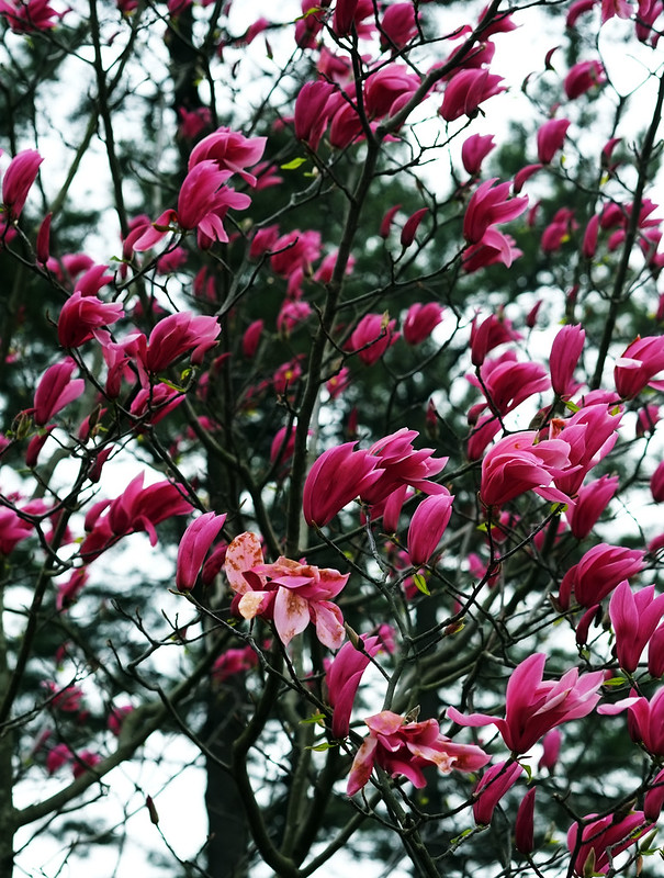 Magnolia Tree, Chollipo Arboteam, Taean