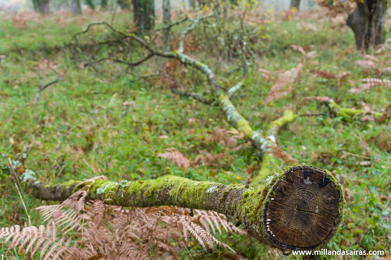 Difuntas ramas en el bosque da Fervenza