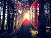 Sunlight through Douglas firs. Mount Tabor Park.