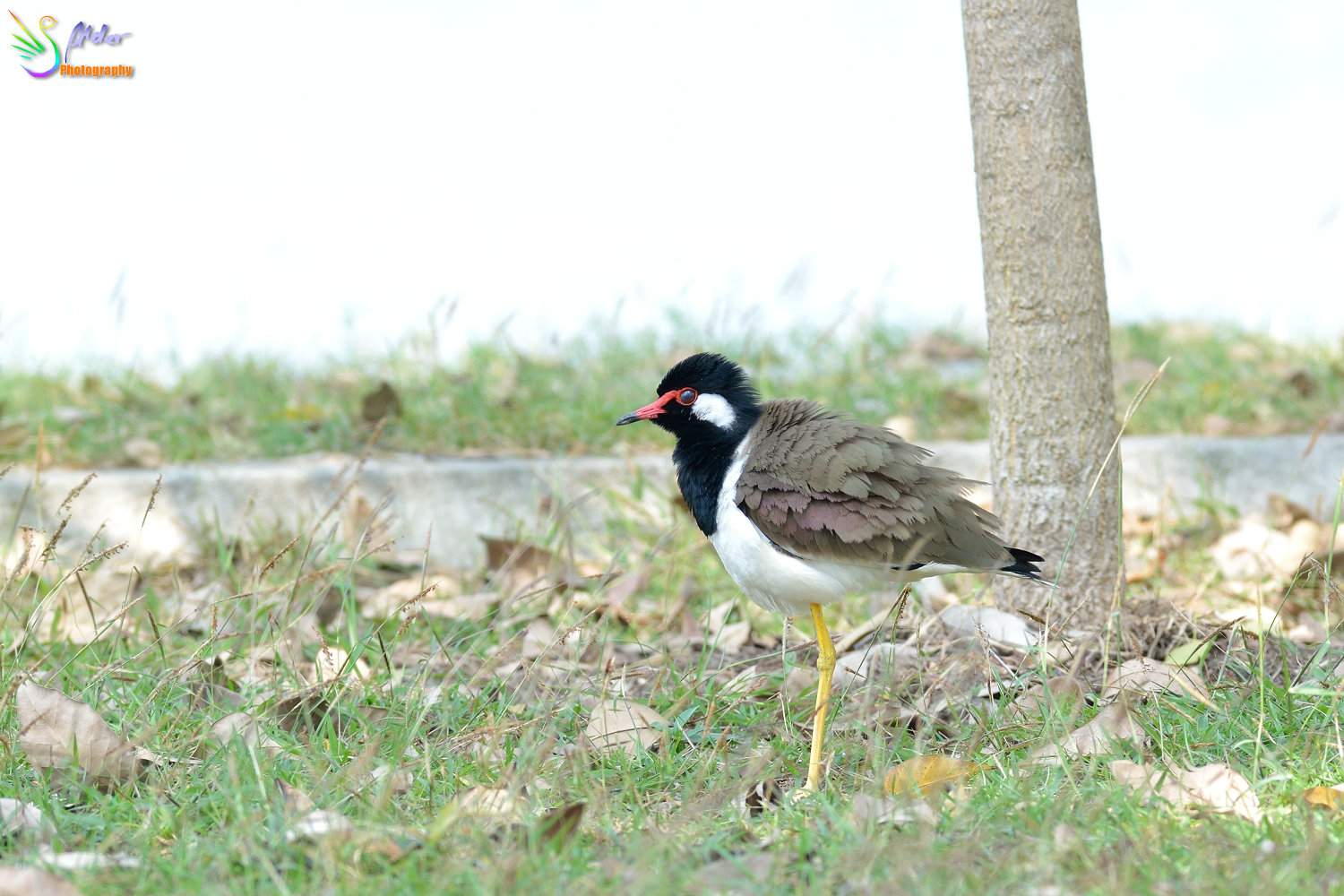 Red-wattled_Lapwing_2177