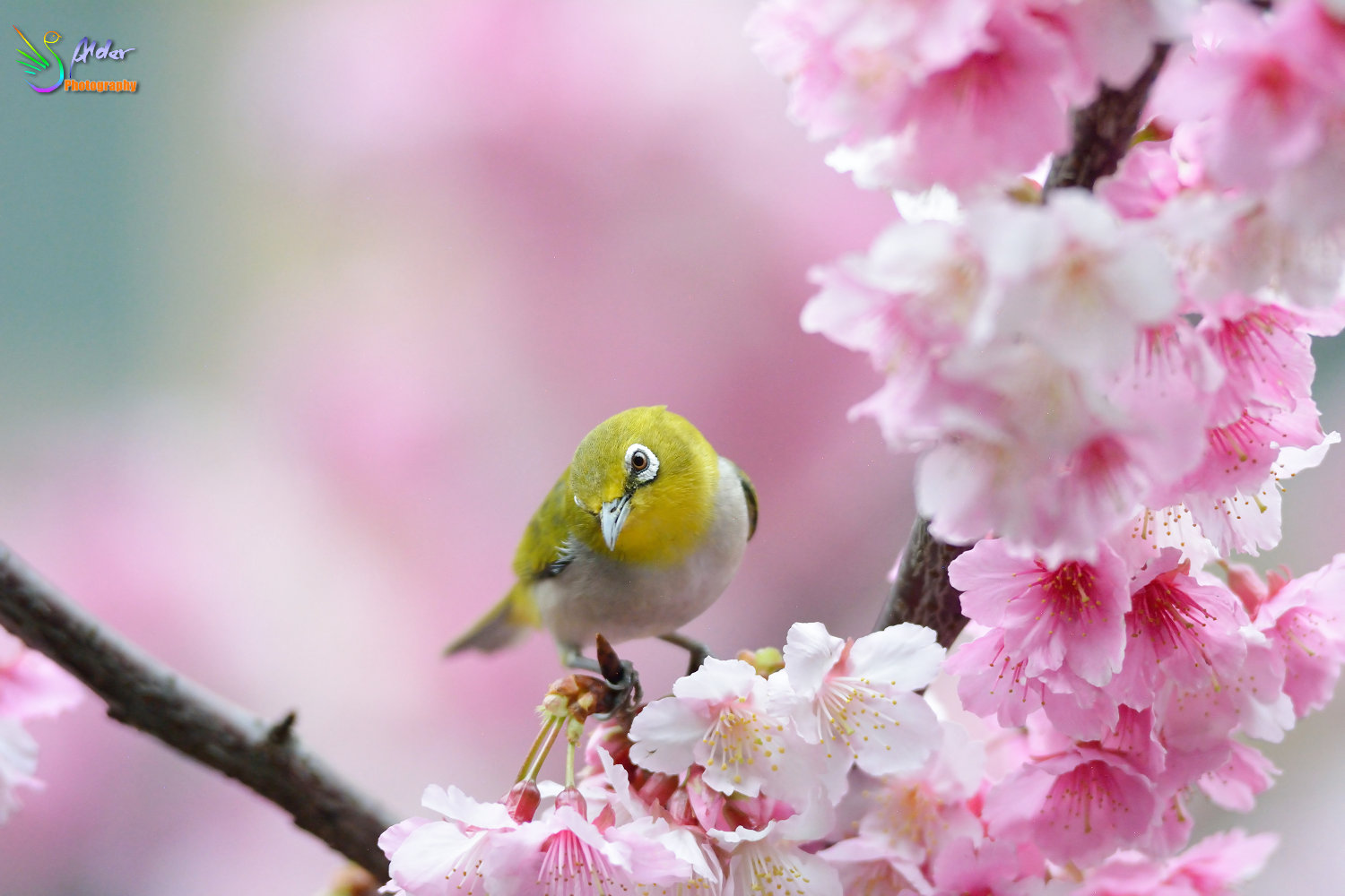 Sakura_White-eye_7186