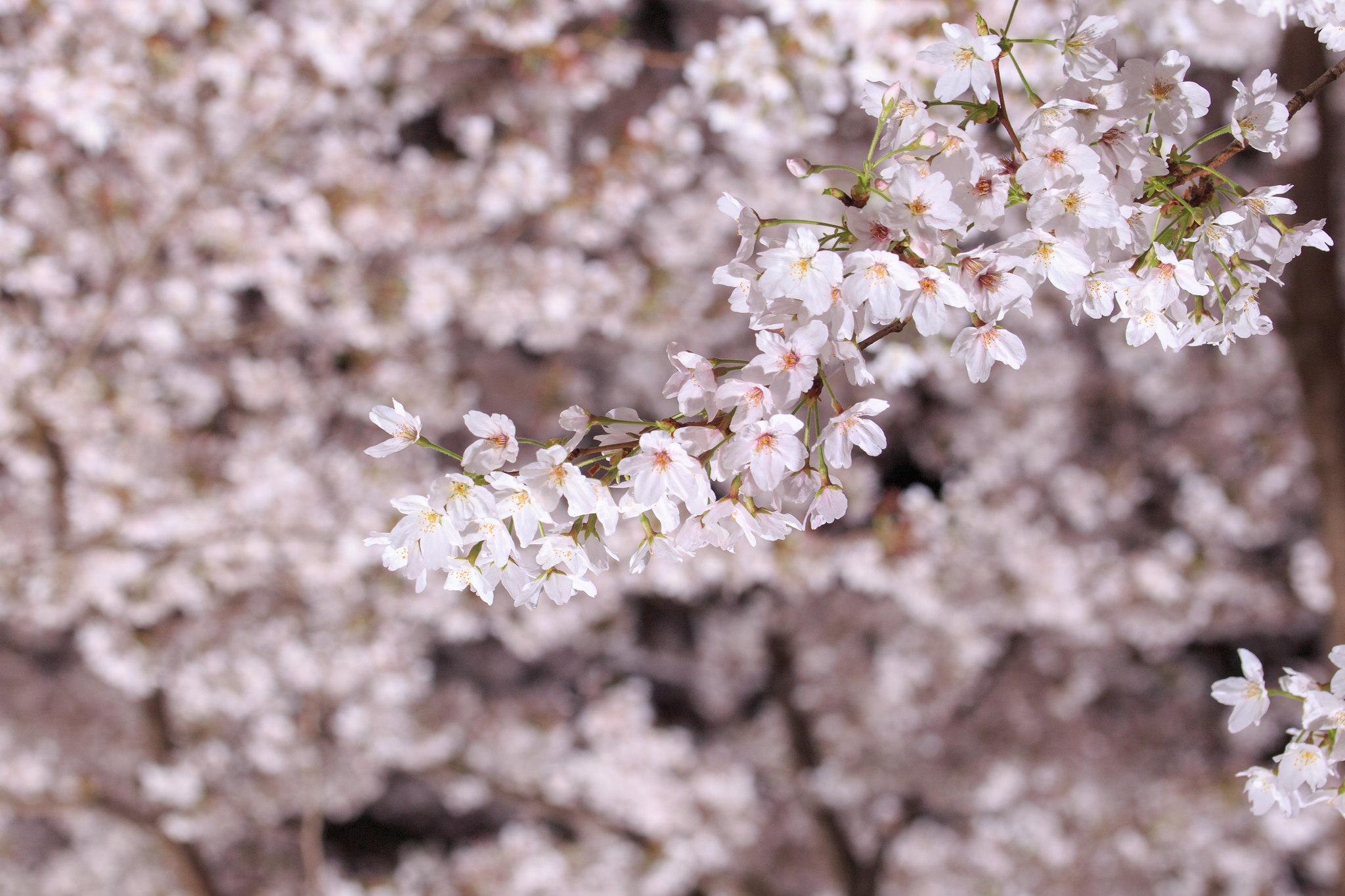 2016-04-05 野川桜ライトアップ 001