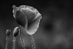 Red Poppy Family. Black and White