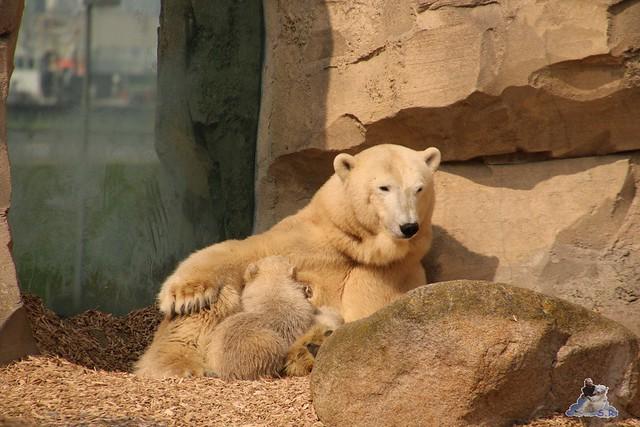 Eisbär Lili im Zoo am Meer Bremerhaven 09.04.2016 Teil 1  0168