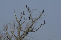 les cormorans - Photo of Juvigné