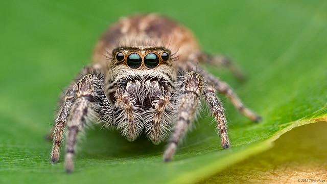 Eris militaris bronze jumping spider
