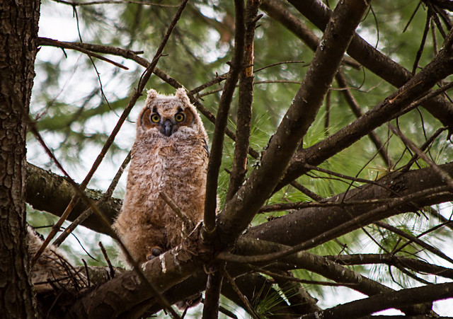 Owl in the Trees