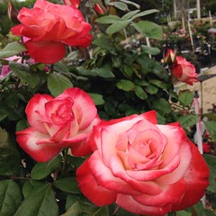 Coretta Scott King rose blooms. #spring #spring2016 #springtime #rose #weeksroses #RainbowGardens #flowers #satx #sanantonio #texas