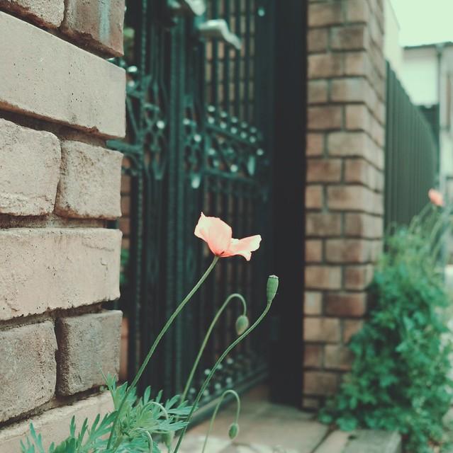 Corn poppy flower with bud