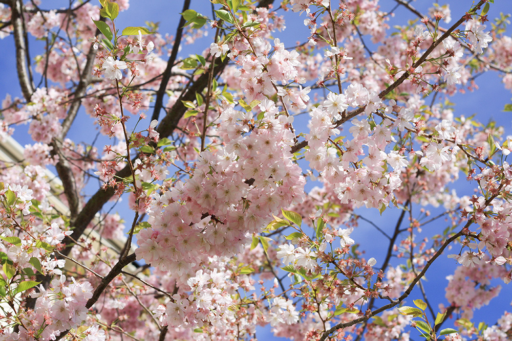 cherryblossom-london