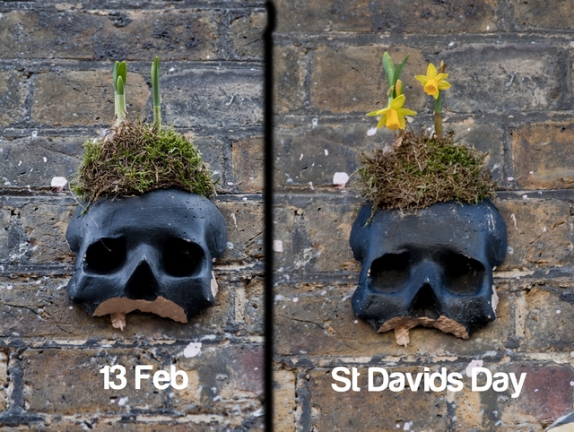 UNknown Skull daffodils before after