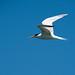 Elegant Tern (Thalasseus elegans)_DSC4013e por Dave Krueper