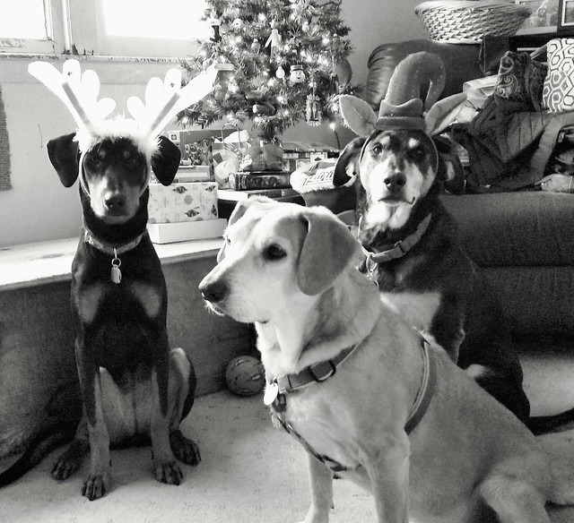 3 rescued dogs on Christmas 2015 - Doberman mix, coonhound mix, hound mix - Lapdog Creations #adoptdontshop
