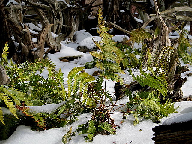Warmth's absence makes the frond grow heartier.