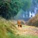Jungle cat by fahadee
