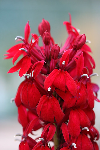 lobelia compliment red