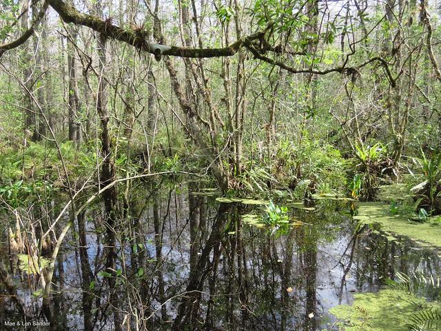 corkscrew-swamp 5
