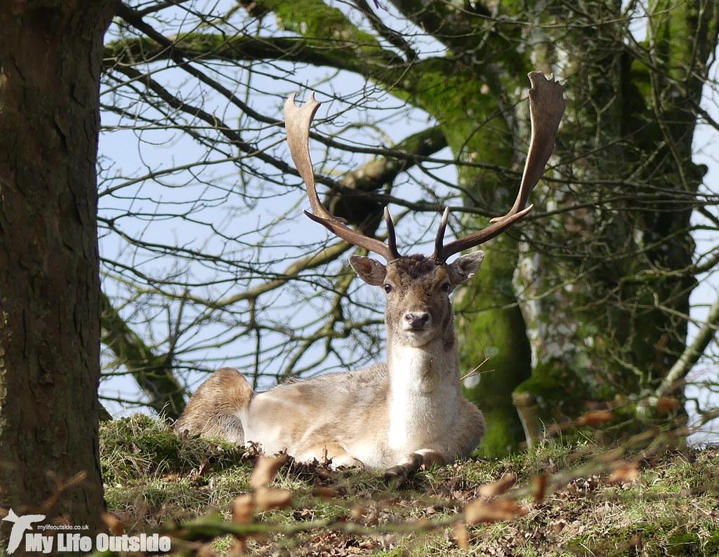 P1000209 - Fallow Deer, Dinefwr