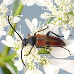 kétpettyes virágcincér - Vadonia unipunctata