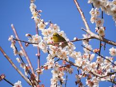 梅にメジロ ― White-eye and Ume flowers