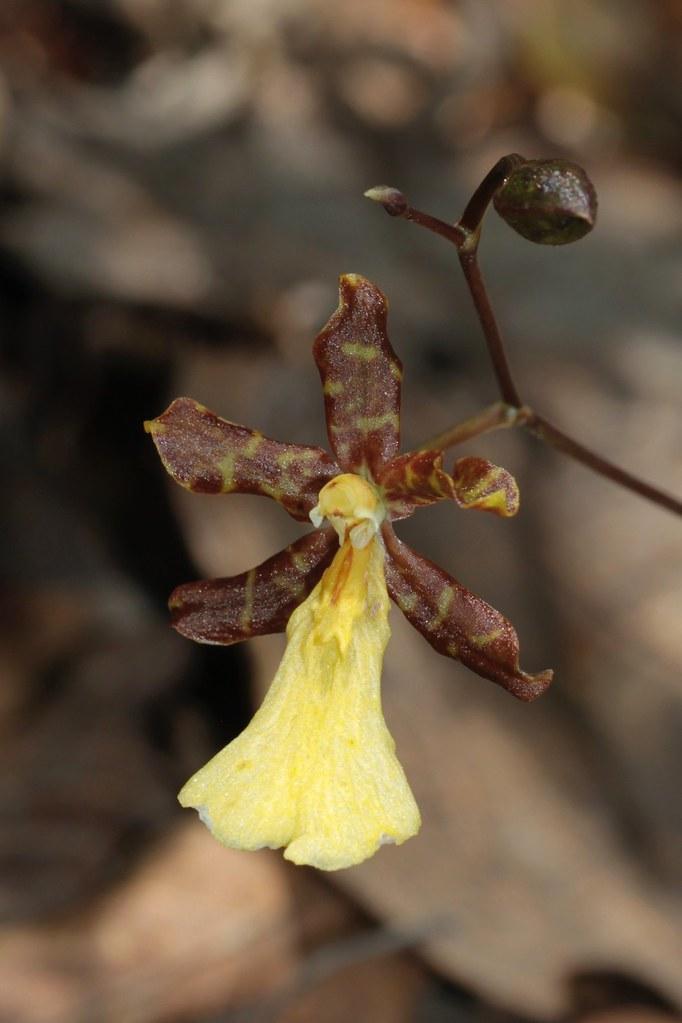 Odontoglossum sp. ? (Orchidaceae)