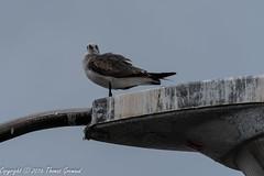 Ruffled Gull on a Street Light