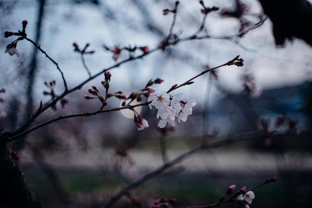 CherryBlossoms_07