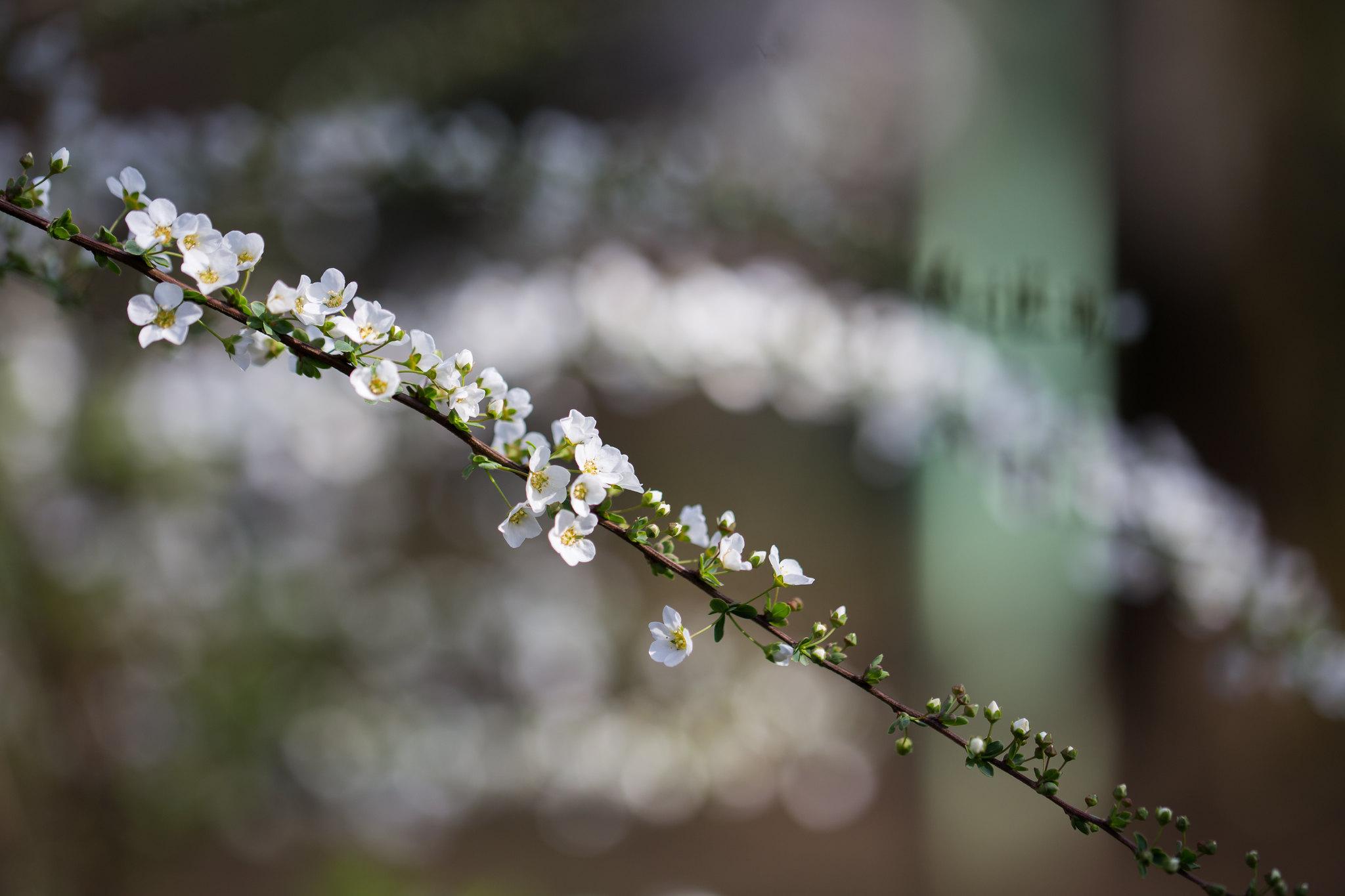 2016-03-19 桜 001-5