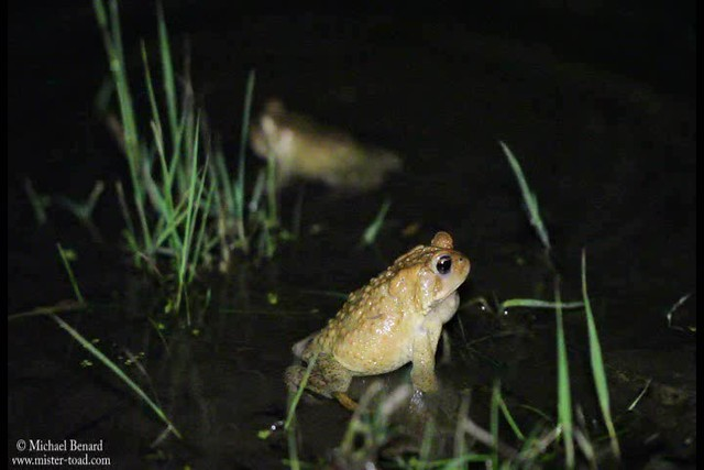 Toads having a conversation
