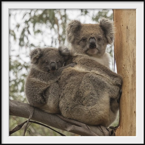 animal mammal australia olympus victoria telephoto koala motherandchild omd hotspur m43 microfourthirds em5mk2