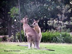 Kangaroos at Stradbroke Island