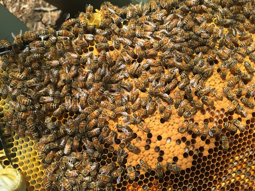 bees IMG_5757