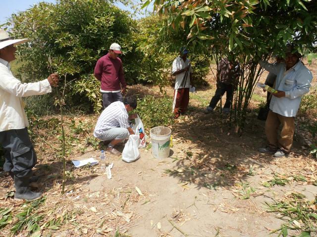 Productores de Bambú en Medio Piura