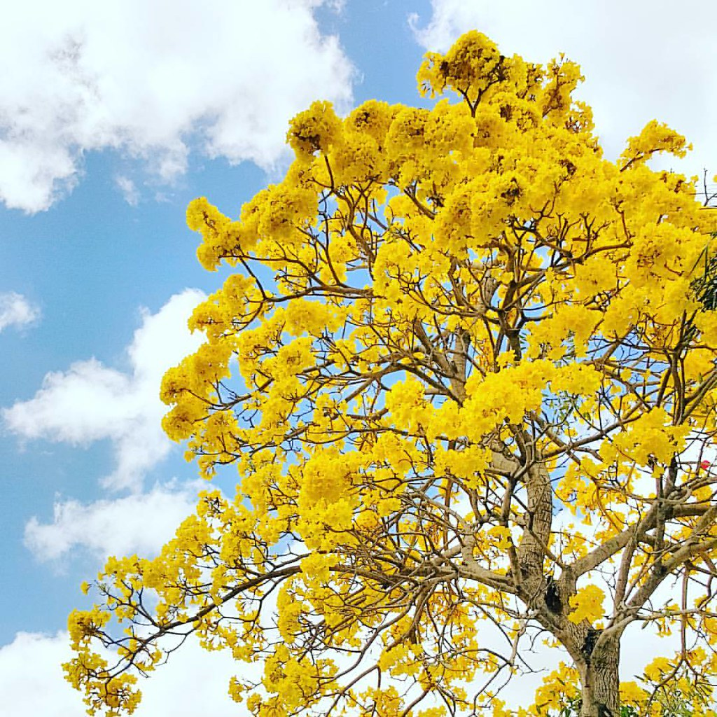 The beautiful #yellowtabtree 💛💛💛 #springinmiami #Tabebuia