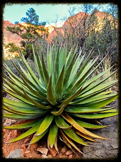 grand canyon hike agave plant