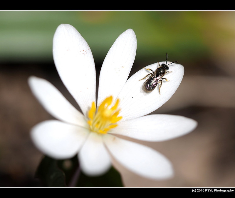 Helictidae bee resting on Bloodroot (Sanguinaria canadensis)