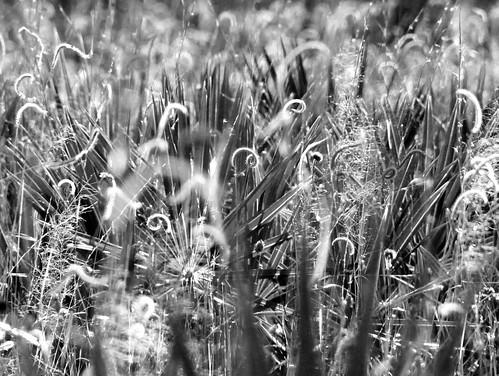 winter blackandwhite bw plants abstract lana nature mississippi saw grasses botany tamron palmetto sandhillcrane nationalwildliferefuge nwr gramlich gautier canoneosrebelt2i lanagramlich dailynaturetnc16 jan52016