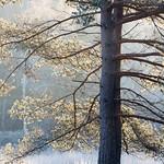 January-Tree