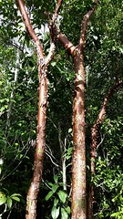 Gumbo Limbo trees