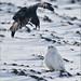 A Crow and an Owl by Raymond J Barlow