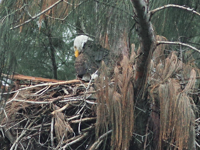 Bald Eagle female on nest 20160117