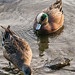 Small photo of American wigeon (Anas americana) pair