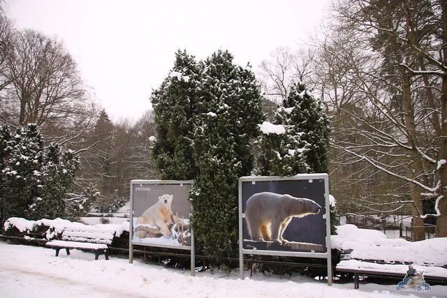 Eisbär Fiete im Zoo Rostock 23.01.2016  0144