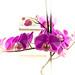 Orquideas magenta