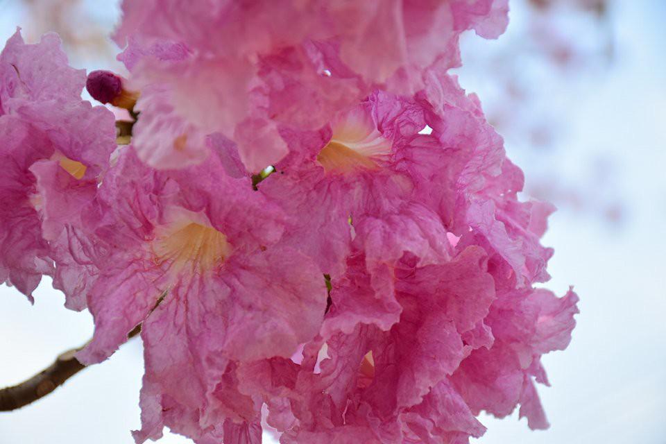 Tabebuia rosea (2)