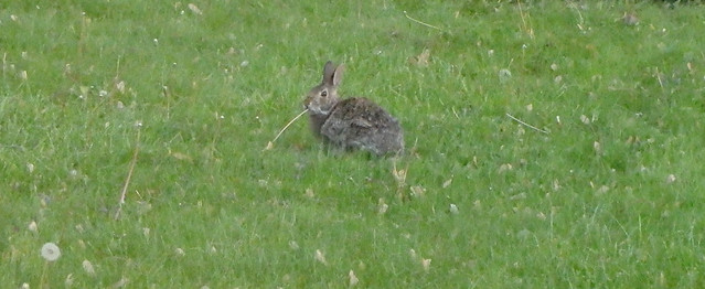 rabbit with a long dandelion stem hanging from its mouth